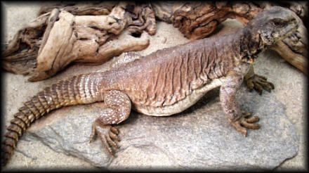 How big can a egyptian uromastyx get - Google Search ...