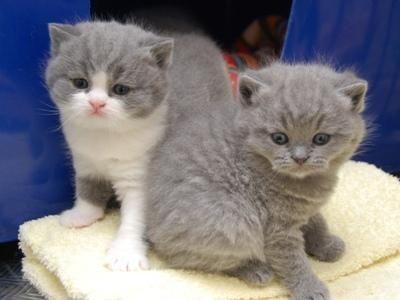 British shorthair kittens adoption