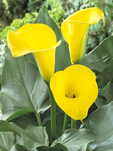 Calla Conca D Or Calla Lily Flowers Calla Lily Calla Lily Colors