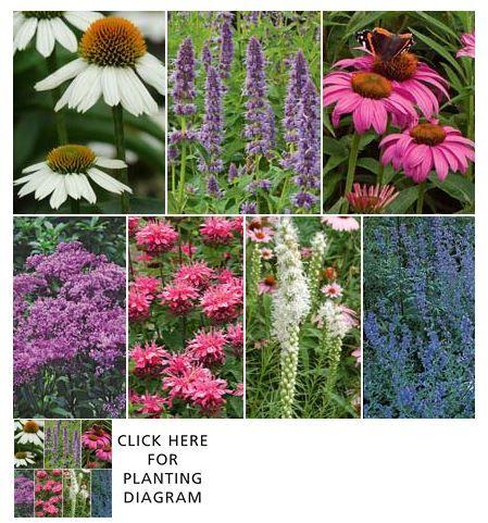 "Hummingbird-Butterfly Garden. Easy care perennial garden for a sunny location.  Hummingbirds and butterflies will flock to the nectar in lavender-blue Catmint, pink and white Coneflowers, white Gayfeather, compact Bee Balm,  30"" tall mauve-purple Joe Pye Weed, aromatic Agastache 'Blue Fortune', Liatris spicata 'Alba', Eupatorium dubium 'Baby Joe' Echinacea purpurea 'Fragrant Angel' Echinacea purpurea 'Magnus',   Monarda didyma 'Pink Lace', Nepeta x faassenii"