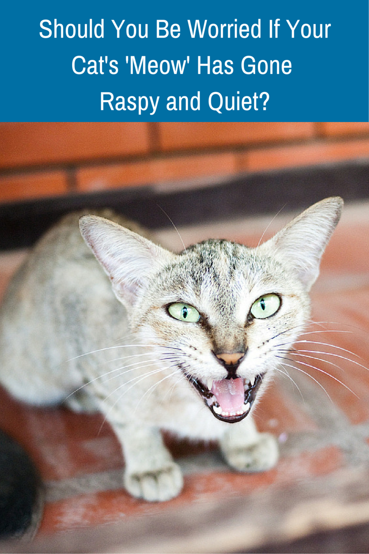 Should You Be Worried If Your Cat S Meow Has Suddenly Gone A Bit Hoarse Cat Care Animal Medicine Pets