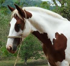 https://www.google.com/search?q=criollo horse