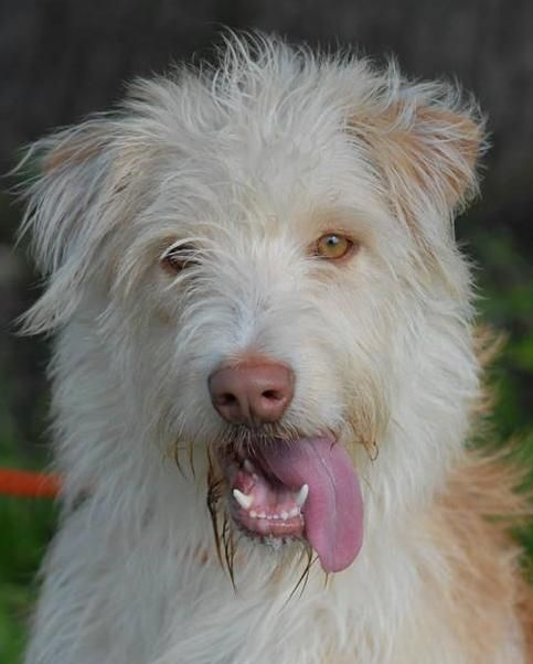 03/24/16-Meet Libby, an adoptable Wirehaired Terrier looking for a forever home. If you're looking for a new pet to adopt or want information on how to get involved with adoptable pets, Petfinder.com is a great resource.