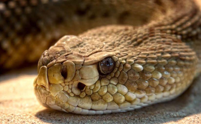 تعرف على تفسير الثعبان الكبير في المنام من خلال هذا المقال قال الله تعالى قالوا أضغاث أحلام وما نحن بتأويل الأحلام بعالمين In 2020 Rattlesnake Snake Rattlesnake Bites