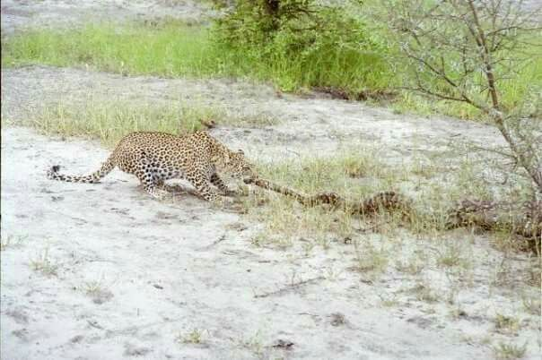 This young male Leopard must have bee extremely hungary to take on an African Rock Phython