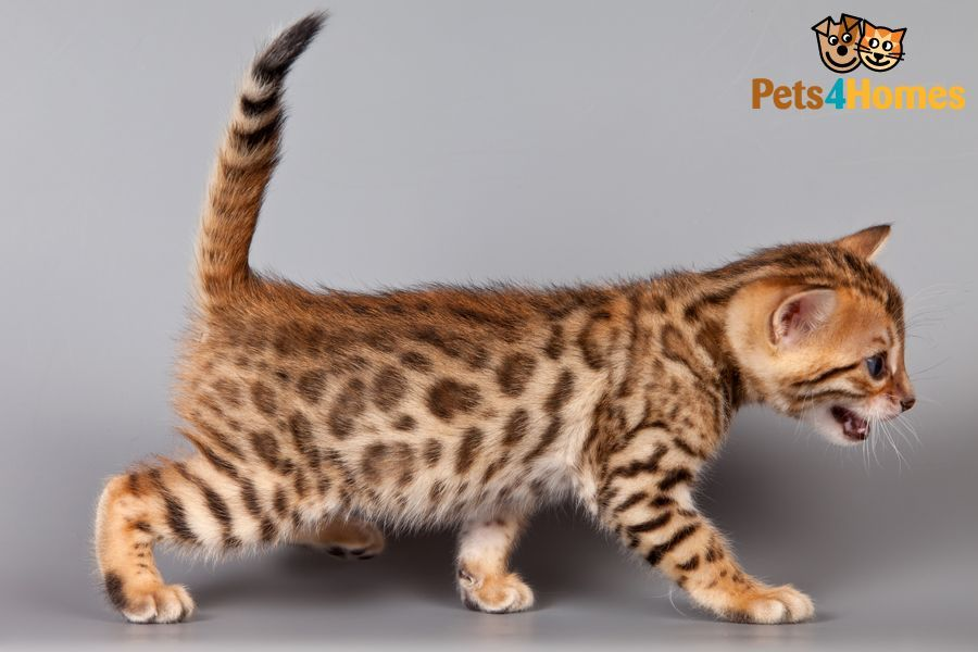 Bengal Cat Breed Bengalskie Kotyata Fakty O Koshkah Kotyata