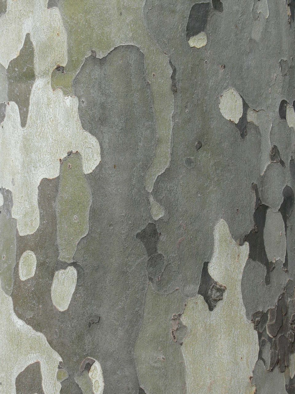 Gumtree Bark Pattern Free Image Patterns In Nature Textures