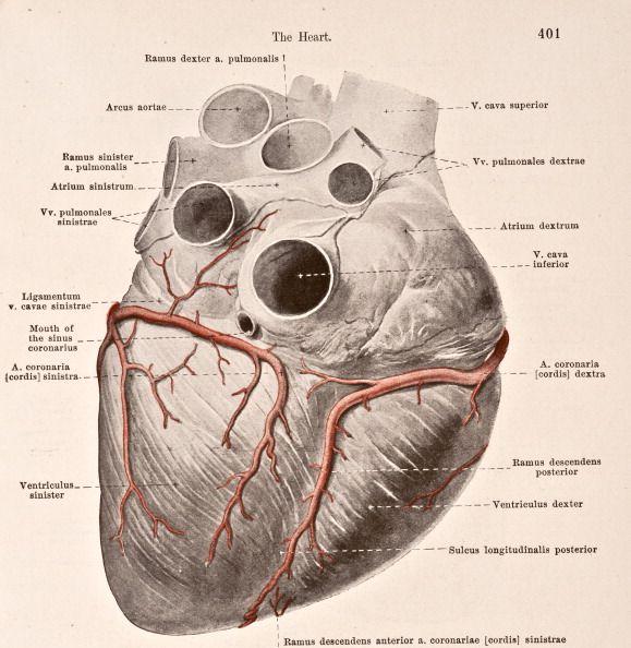 A medical illustration from \'HandAtlas of Human Anatomy volume 2 ...
