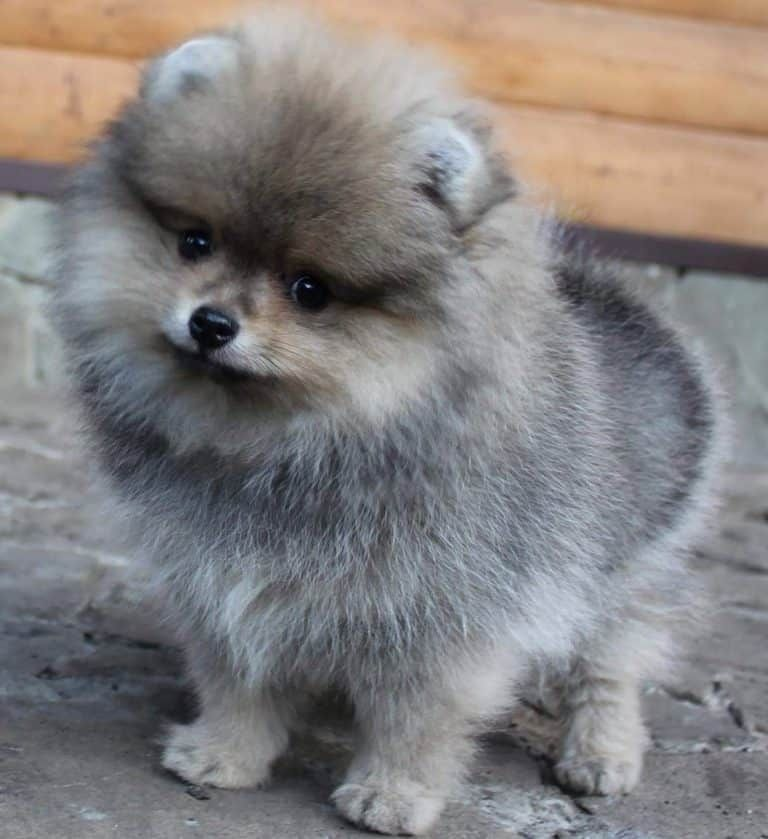 Pomeranian For Sale Near Me Ready For Rehome Now Pets4rehome In 2020 Pomeranian Puppy For Sale Pomeranian For Sale Pomeranian Puppy