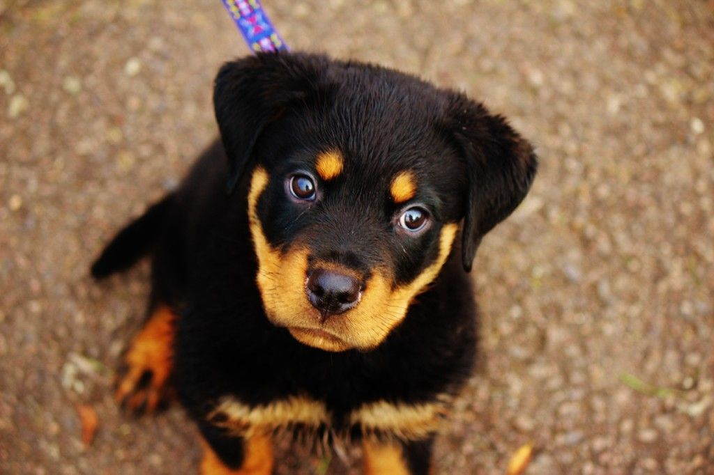 Rottweiler Dogs Hd Wallpapers Rottweiler Puppies Rottweiler