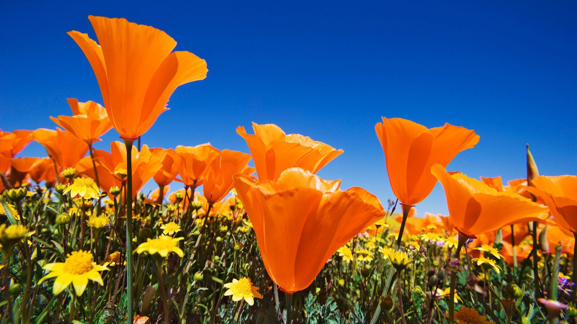California Poppy Wallpaper Beautiful Flowers Wallpapers Spring