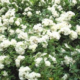 rosier de banks 39 alba plena 39 outdoor garden pinterest petites fleurs blanches creepers. Black Bedroom Furniture Sets. Home Design Ideas