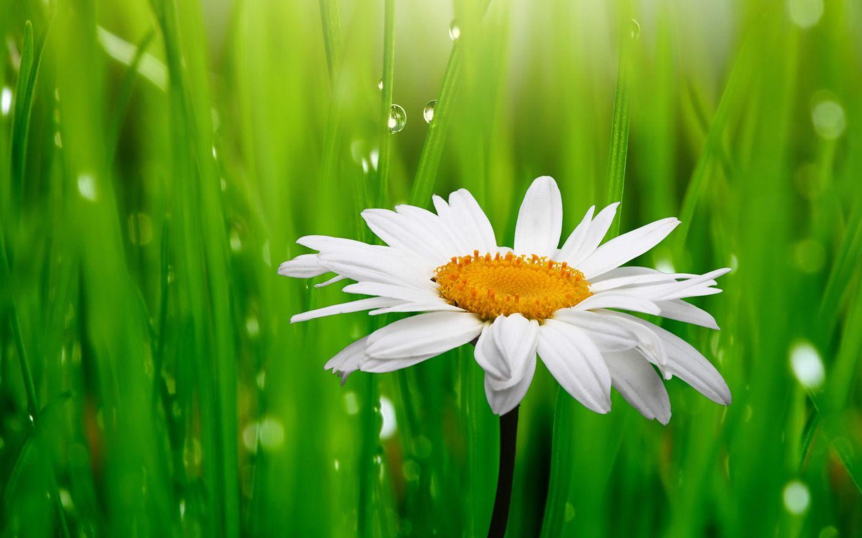 20 خلفية زهور رائعة عالية الدقة مجانا مداد الجليد Flower Backgrounds White Flowers Flowers