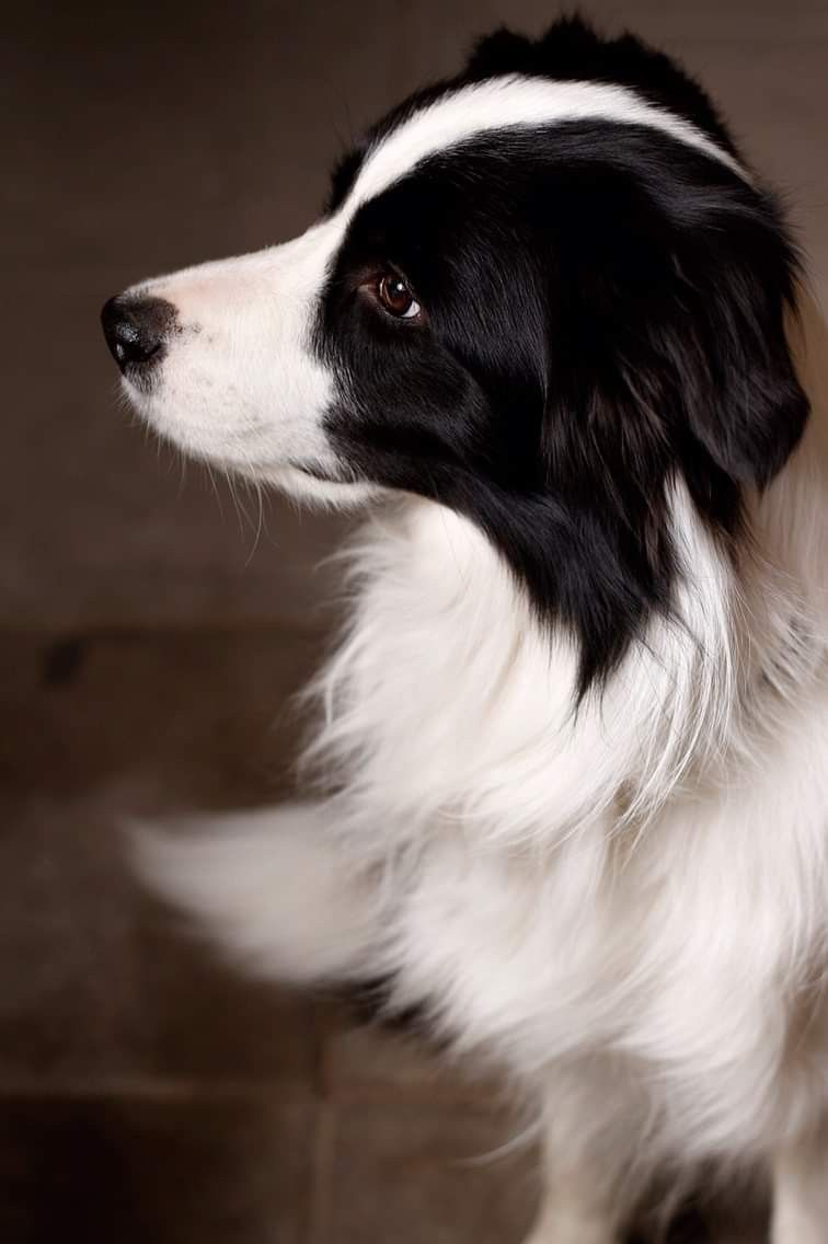 Pin By Alex On Border Collie Mad Collie Puppies Collie Dog