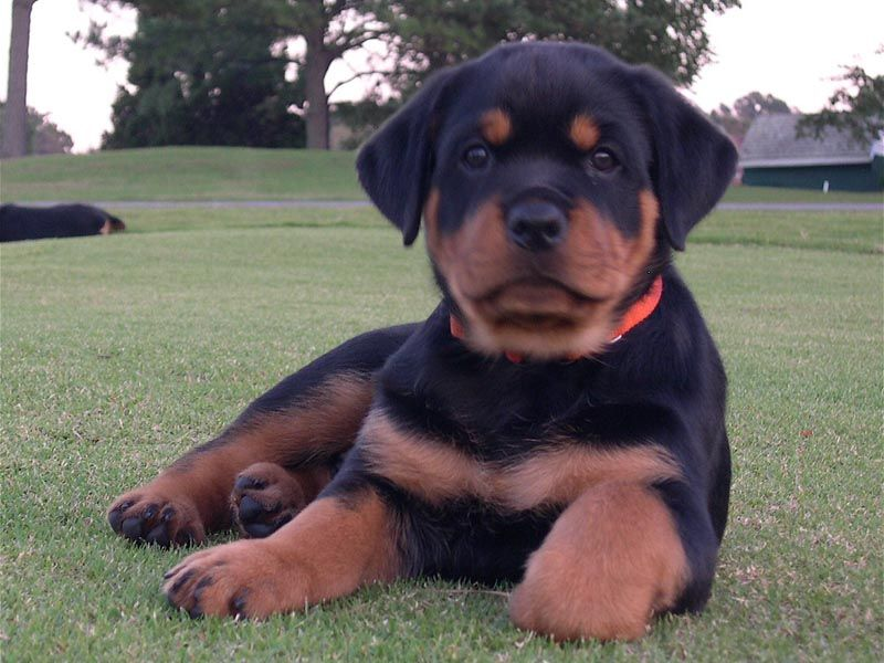 Rottweiler Dog Breed Information Rottweiler Dog Rottweiler