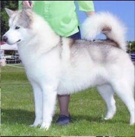 Silver And White Alaskan Malamute Dog Alaskan Malamute Husky