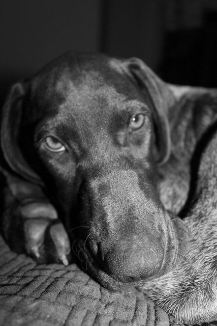 My baby girl! My little German shorthaired pointer!:)