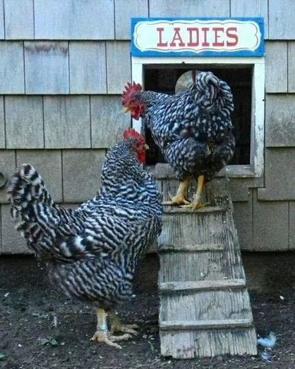 Ladies . . . this is how I can name their coop. (With ...