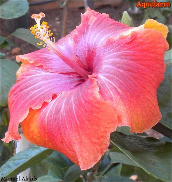 Hibiscus Rosa Sinensis Aquelarre Dried Hibiscus Flowers Hibiscus Tropical Flower Plants