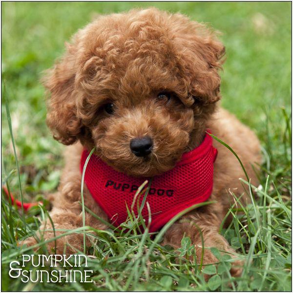 Pumpkin Sunshine Red Poodles Poodle Dog Toy Poodle
