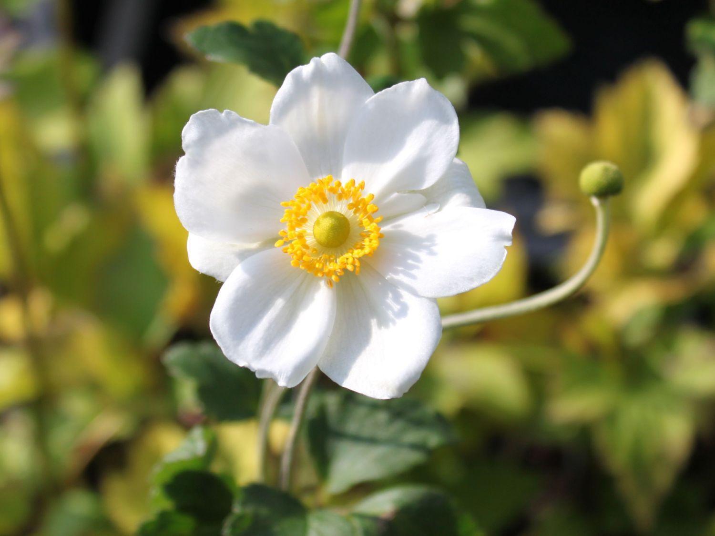 Japan Herbst Anemone Honorine Jobert Anemone Japonica Honorine