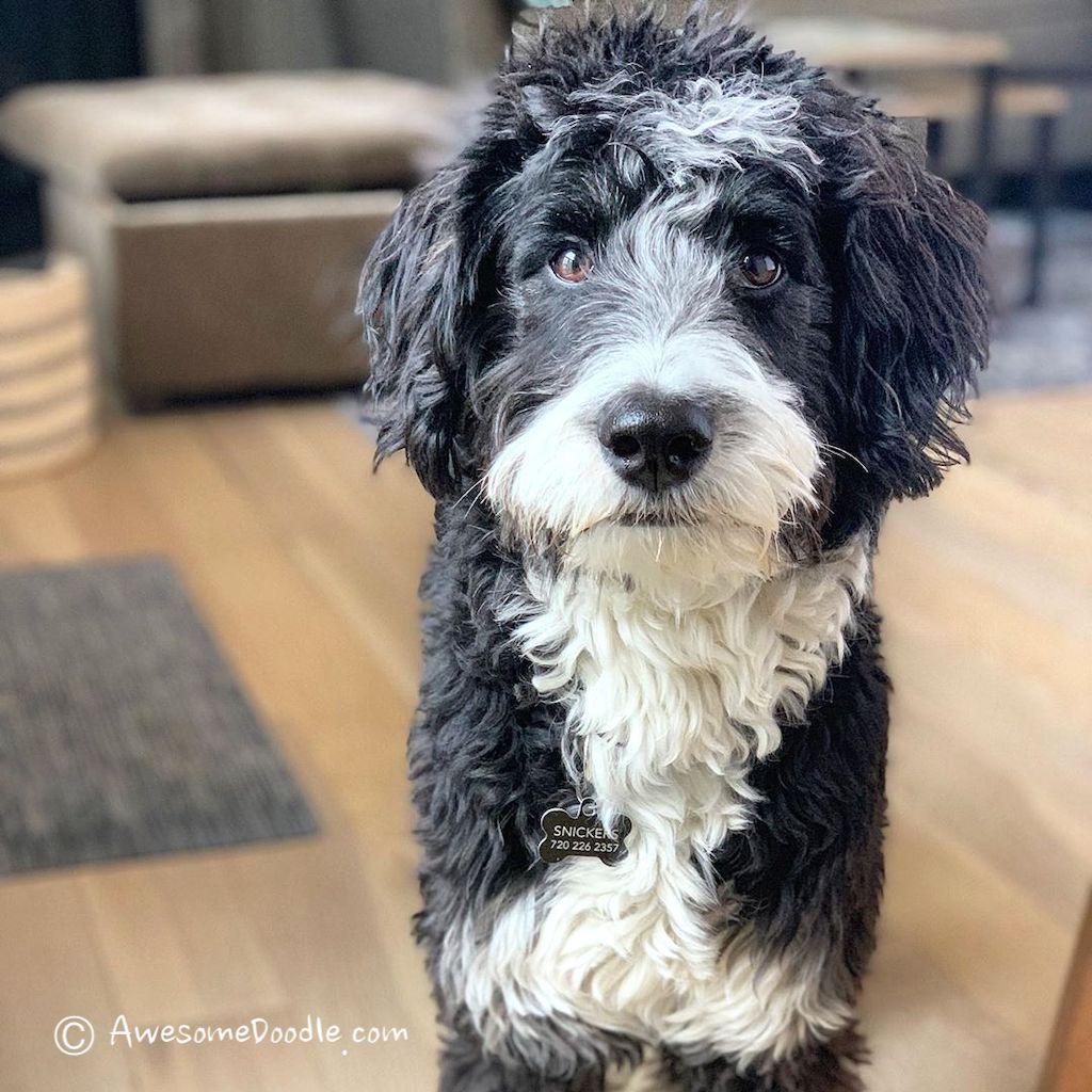 The Cutest Photos of Adult Mini AussieDoodles in 2020