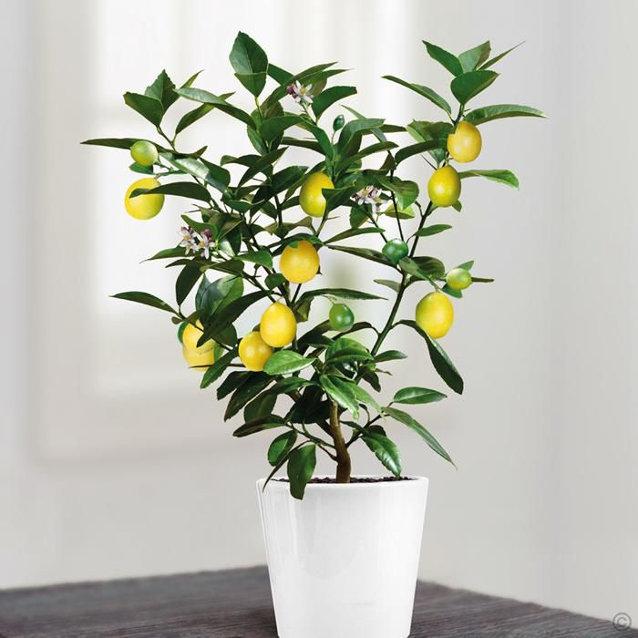 Mini Lemon Tree 25 cm - 1 tree Buy online order yours now