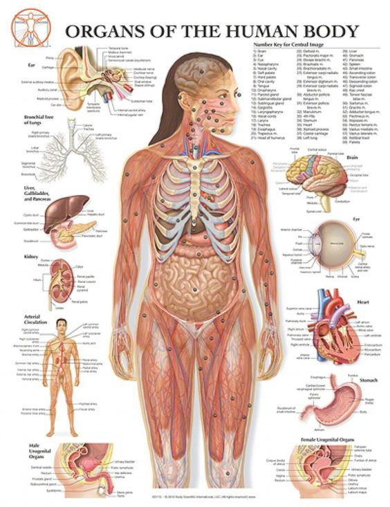 Female Organs Diagram