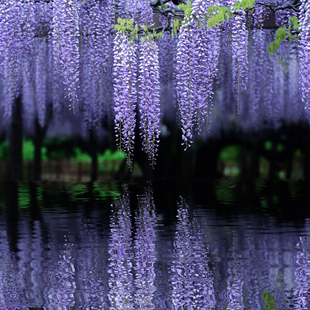 Image result for wisteria reflections in water