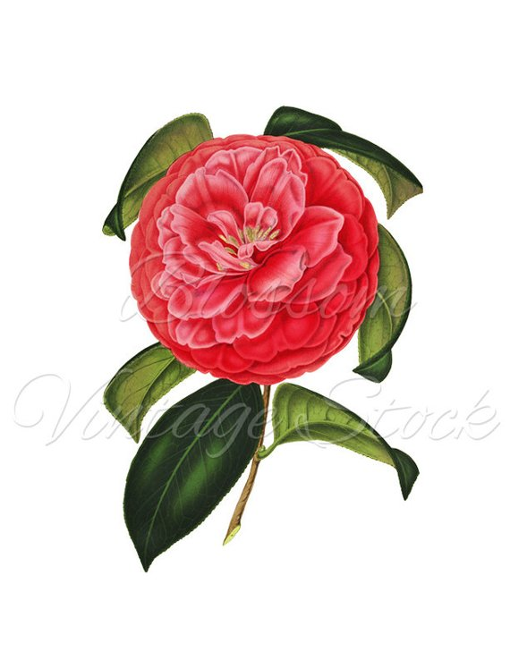 Camellia Floral Print Vintage Flower Print Red Flower Wall Etsy Botanical Flowers Print Botanical Flowers Vintage Flower Prints