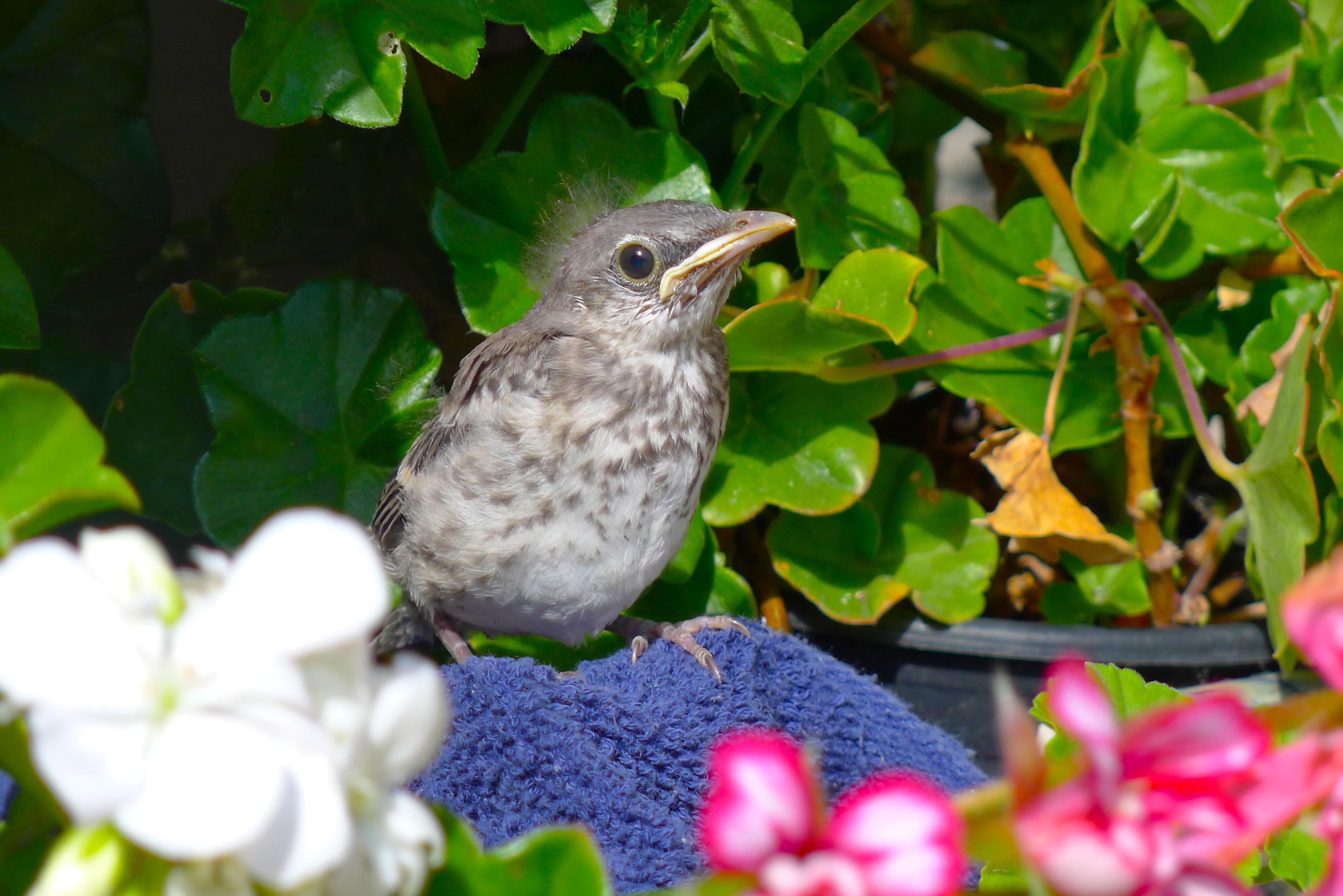 e01eccbfb753b8abb1595384051ec4c2 - How To Get A Wild Baby Bird To Eat