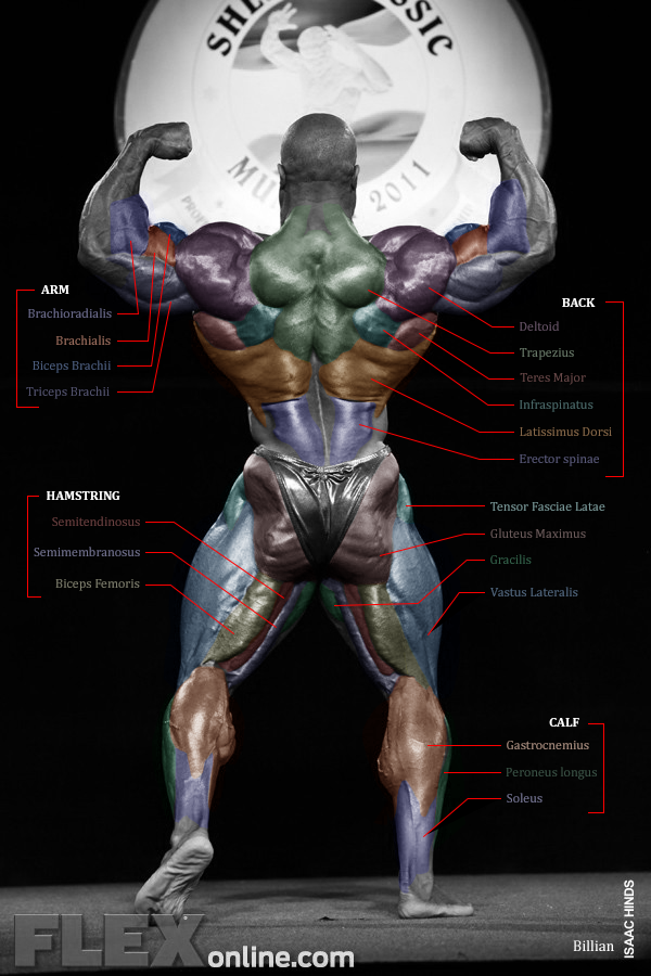 Human anatomy chart of an IFBB pro sized human? - Bodybuilding.com ...