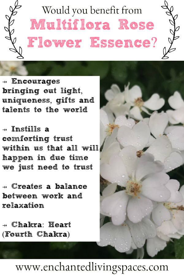 Multiflora Rose Helps Us To Bring Our Light Uniqueness And Gifts To The World It Instills A Trust Withi Flower Essences Bach Flower Remedies Flower Remedy