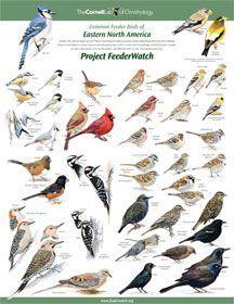 Identifying Birds Feederwatch Identifying Birds Backyard Birds Birds Bees Butterflies