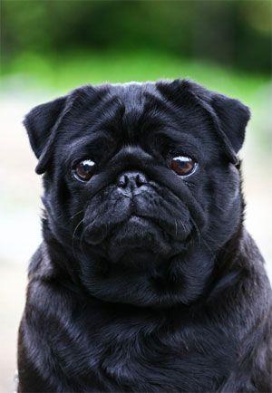 Adorable Pugs Cute Pugs Sick Dog Black Pug Puppies