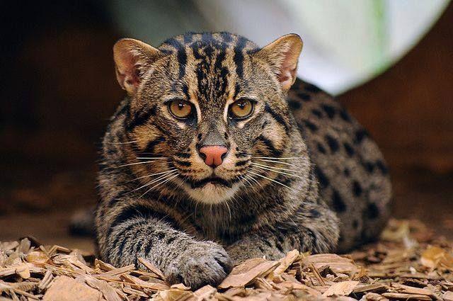 Картинки по запросу виверровые коты