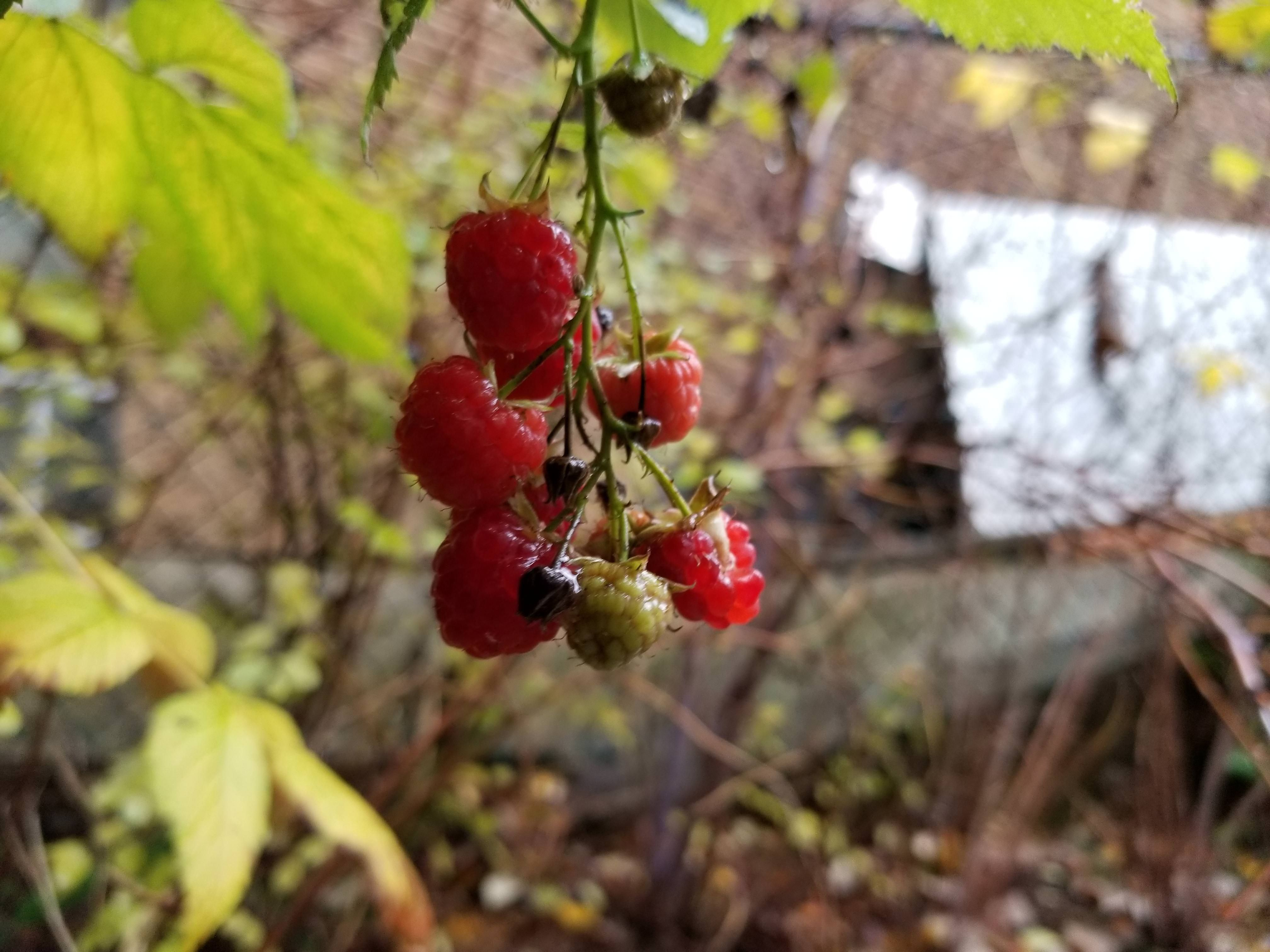 Thanks giving Raspberries in Seattle | Gardening | Pinterest ...
