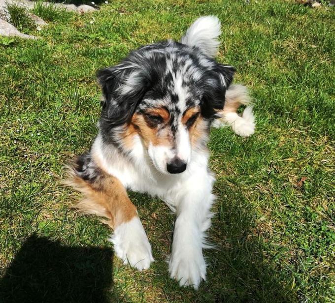 30 Outstanding Names For Australian Shepherd Dogs Australian Shepherds Hundenamen Und Hunde