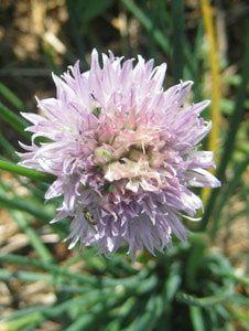 3 Herbs For A Landscape Border