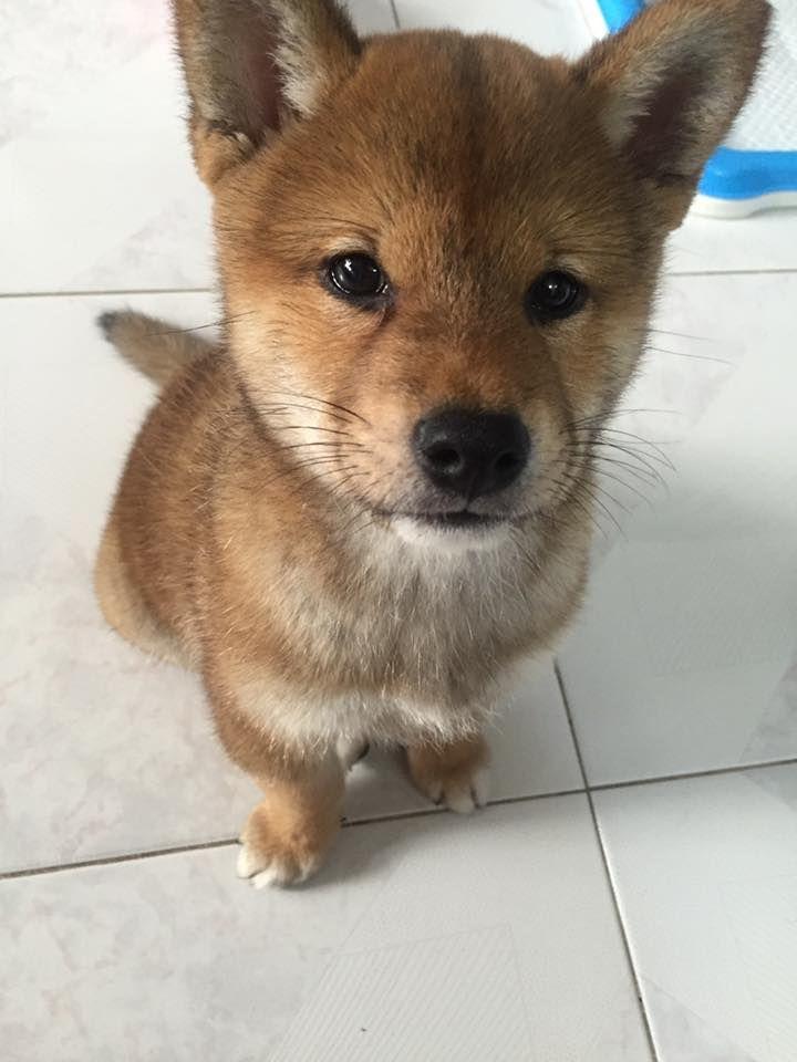 corgi husky mix for sale philippines