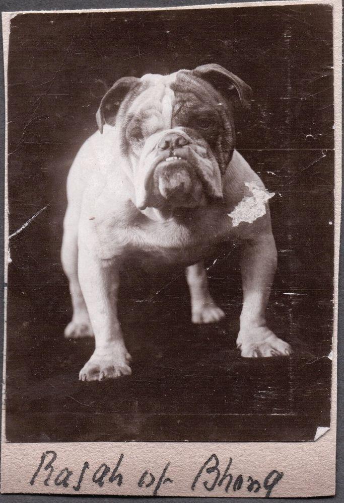 Vintage Photograph 1920s Puppy Dog Huge Big English Bulldog London