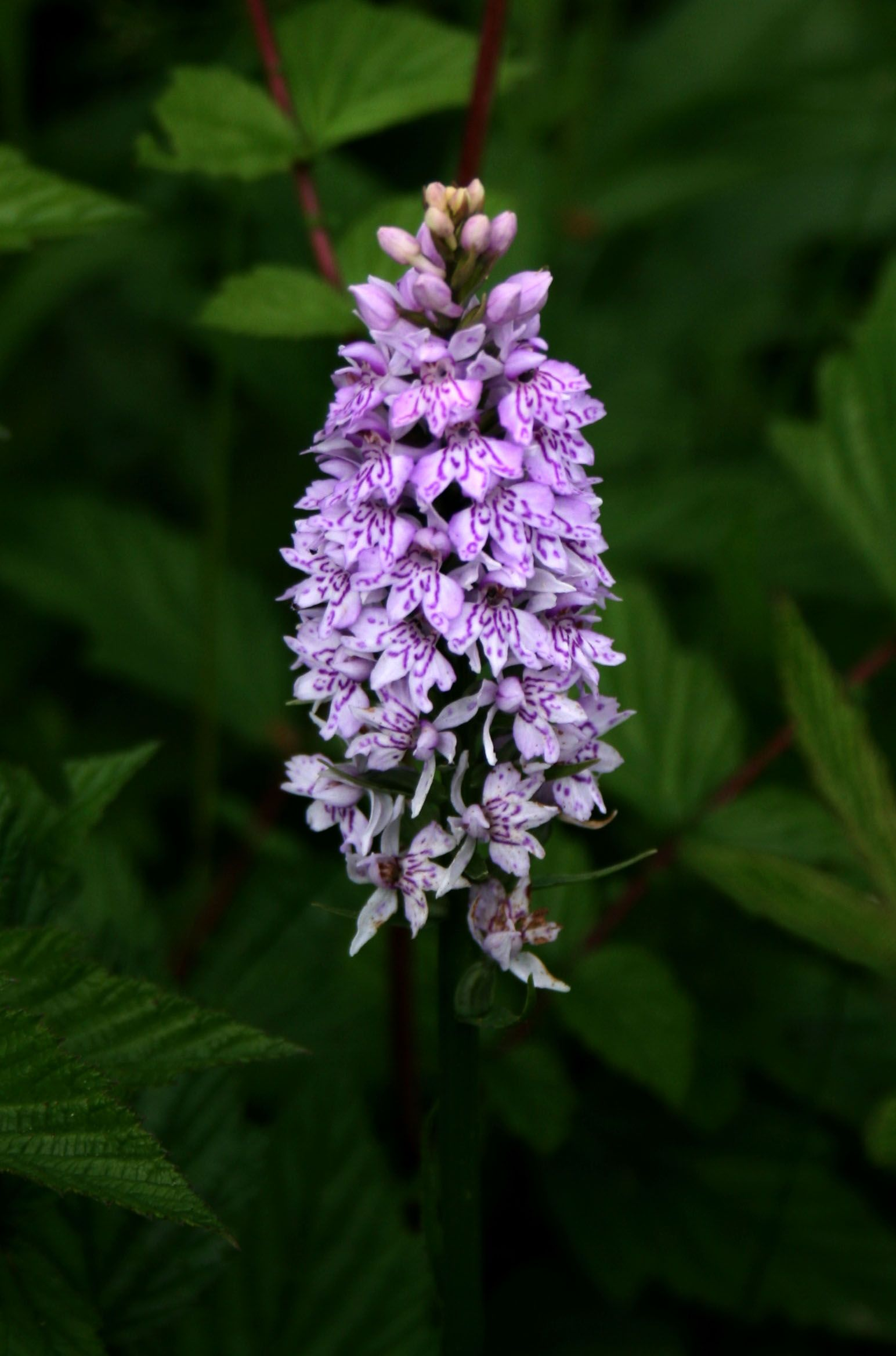 Common Spotted Orchid Dactylorhiza Fuchsii On Woodland Bank At Studley Royal Water Garden Ripon Y British Wild Flowers Flower Images Flower Identification