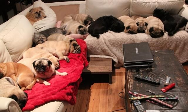 There S Heaven On Earth And It S Filled With Pugs Pugs Crazy