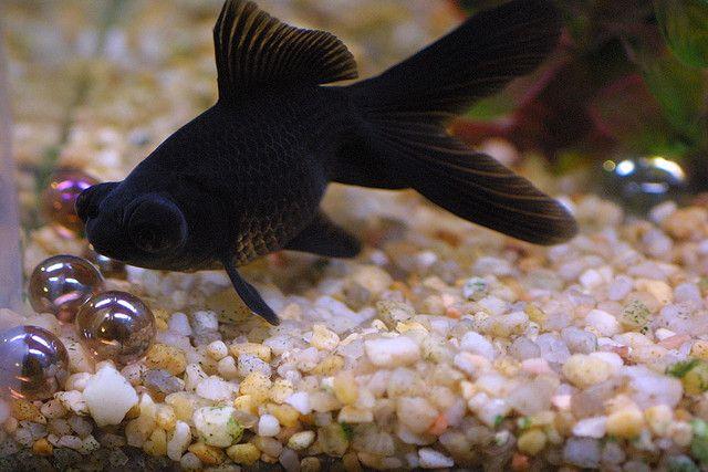 Pin On Black Moor Goldfish