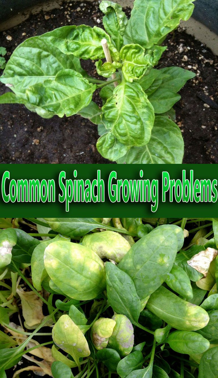 Common Spinach Growing Problems Future Garden Ideas 400 x 300