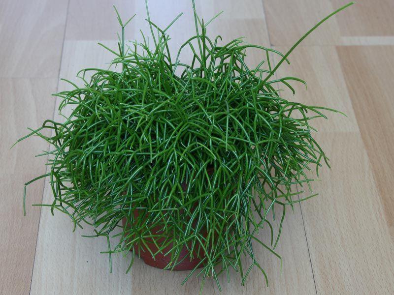 Rhipsalis cassutha pflanzen garten pinterest for Design von zierpflanzen