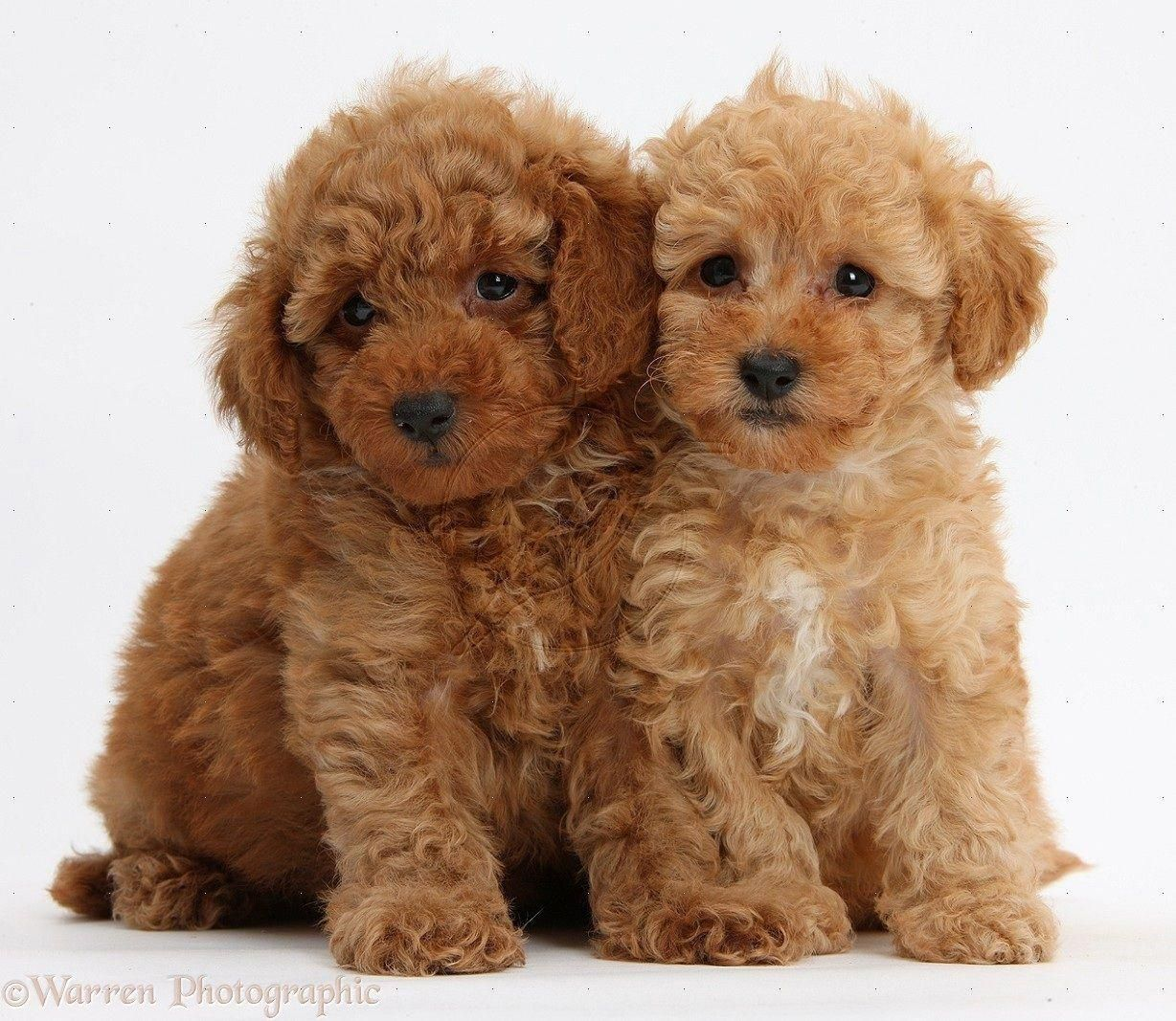 Two Cute Red Toy Poodle Puppies White Background Toy Toy