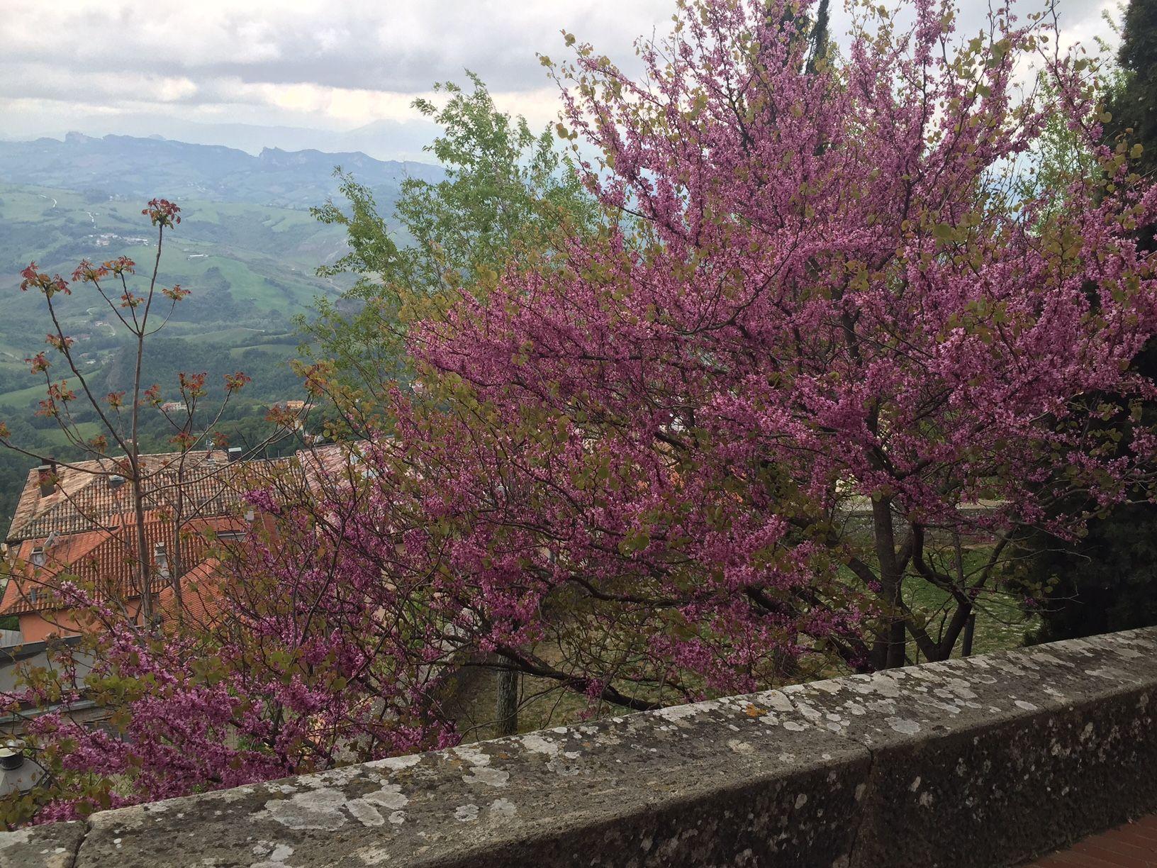 Primavera en Sanmarino. Un almendro en flor.