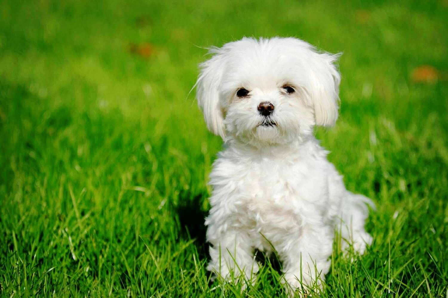 Pin By Hailey D On Puppies Maltese Dogs Dog Breeds That Dont