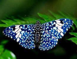 Photos of Blue Butterflies - Bing images